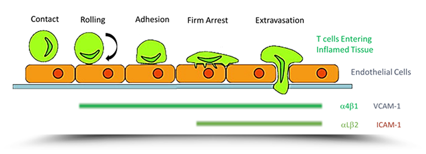leukocyte emigration diagram